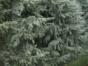Frozen fog on North Abany evergreens.