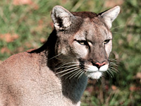 ODFW features this image on its website on Oregon's cougars.