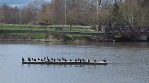 Waverly Lake ducks got all in a row: Maybe it's a good sign.