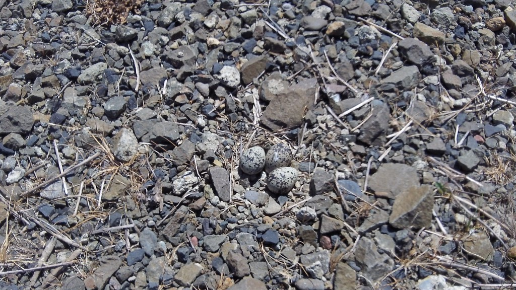 Can you spot the eggs in the roadside gravel?