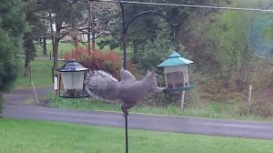 Ms. Squirrel demonstrates that raccoons aren't the only critters that raid bird feeders.