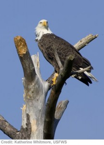 A bald eagle on the website of the U.S. Fish and Wildlife Service.