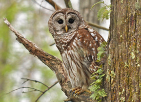 One of scores of barred owls you can see pictured online.