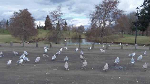 straight gulls