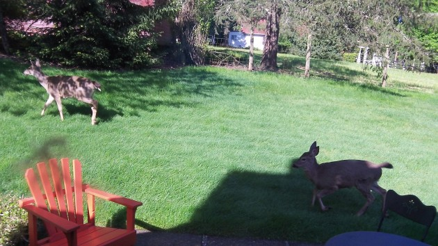 A doe and her fawn, pretty grown up by now, pass through a North Albany yard.