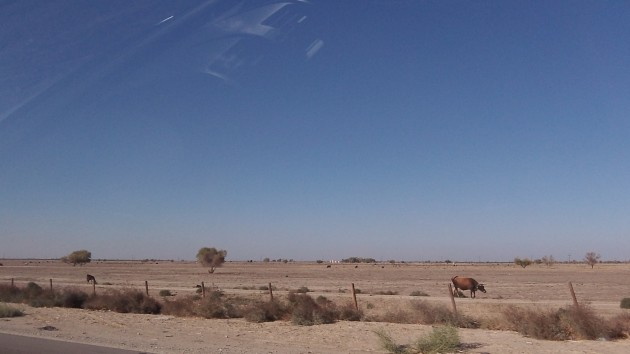 Cattle subsist on this desert-like part of the Central Valley off Interstate 5.