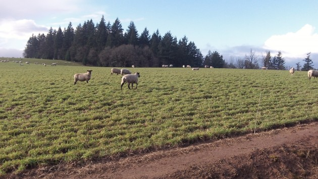 Unconcerned by the weather, North Albany sheep graze in the December sun.