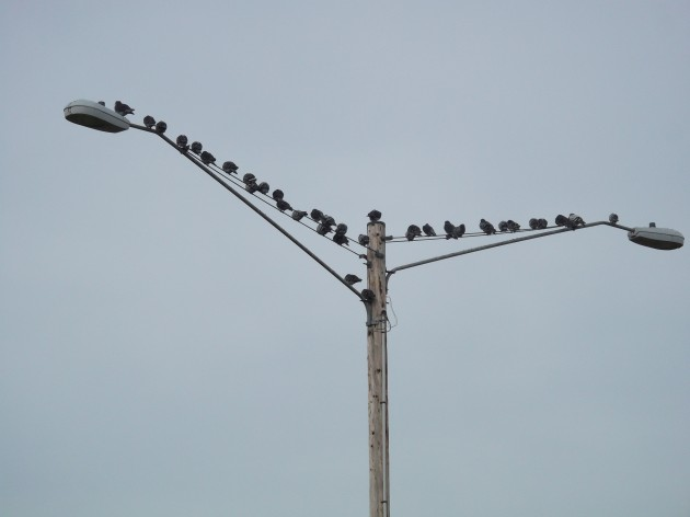 Among the pigeons near the Pacific Boulevard overpass, this seems to be the most popular perch..