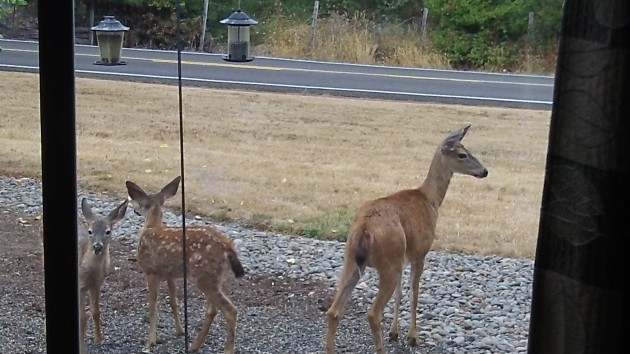 Mother and fawns take a break while staying out of the road, for now.
