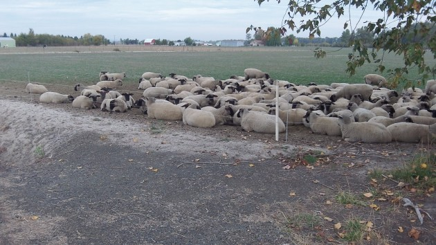 These sheep have no more chance of rebelling against the time change than we.