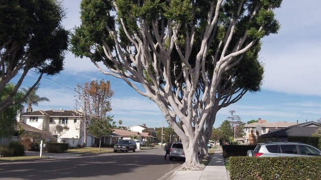 costa mesa tree