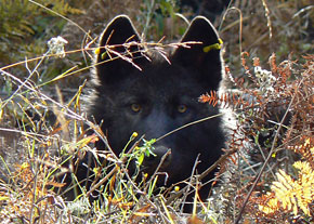 ODFW has this portrait on its web page devoted to wolves.