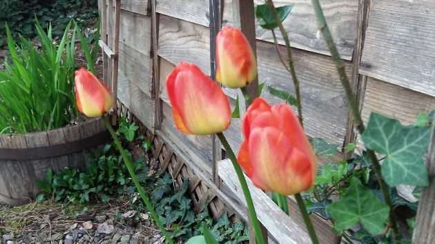 This commentary is not about spring and  tulips, but I wish it were.
