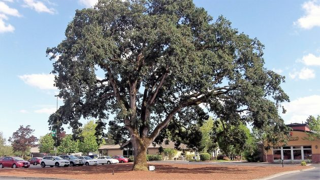 The oak looked pretty healthy in this shot taken June 22.