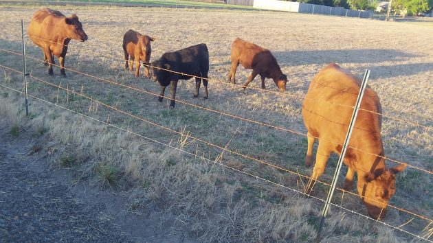 Unlike the rest of us, these cattle on Bryant Drive seem unconcerned by the implications of Measure 97.