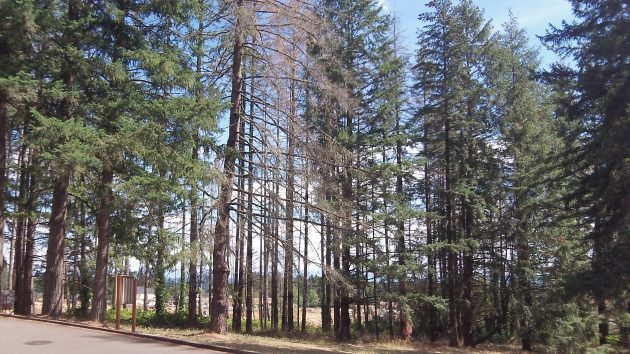 Dying and dead Douglas firs in North Albany County Park.