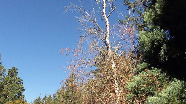 Looks like the bronze birch borer has done its destructive work.