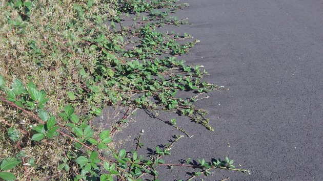 If they grow much farther, these vines will threaten tires,