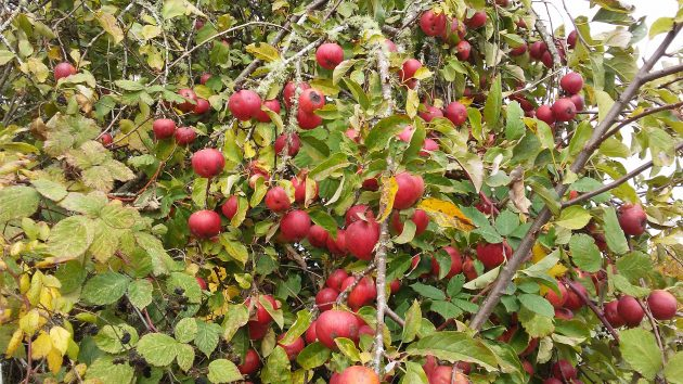 Lots of apple tees with fruit still hanging on in late October.